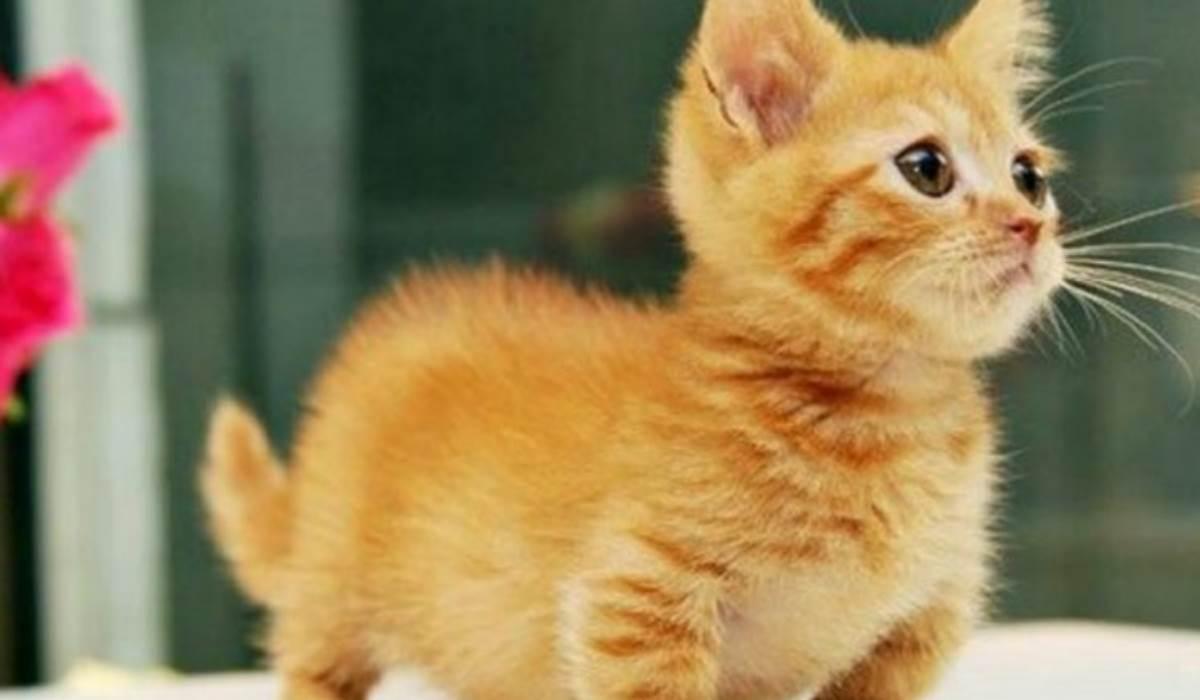 Munchkin: Esta raça de gatos fica bebé para sempre!