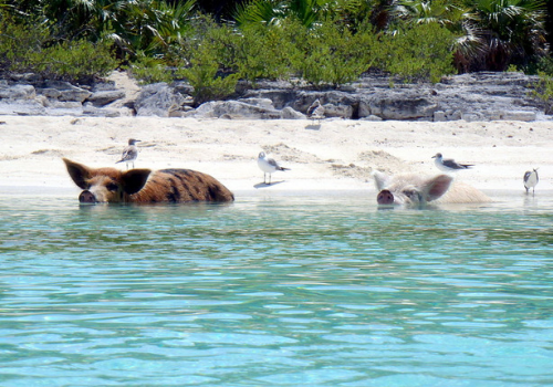 Praia dos Porcos
